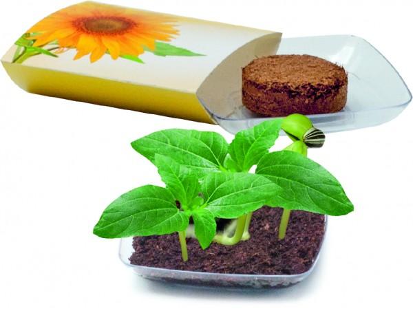 Wachstums-Schälchen Sonne, Zwergsonnenblume, 1-4 c Digitaldruck inklusive