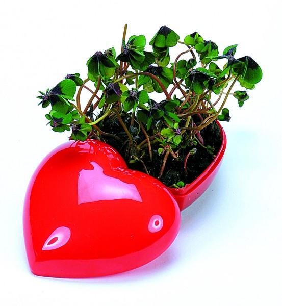Glücksklee Herz, Glückskleezwiebelchen - Werbeaufdruck: Tampondruck